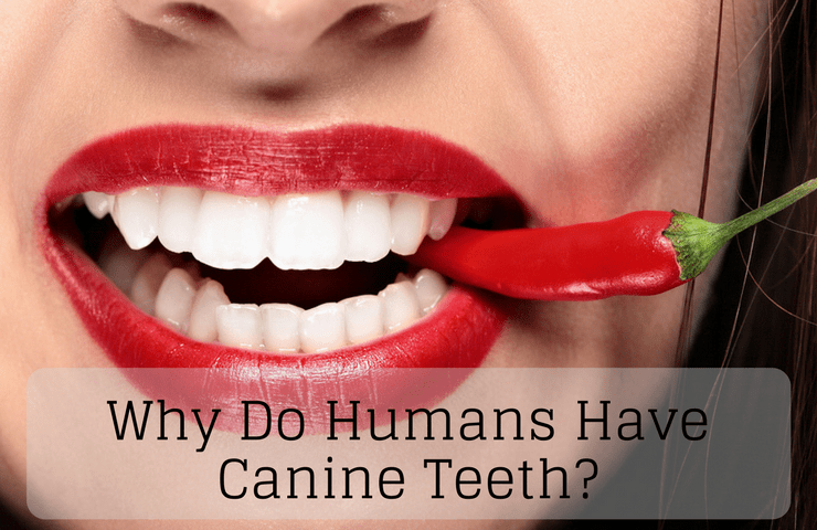 Why Do Humans Have Canine Teeth?